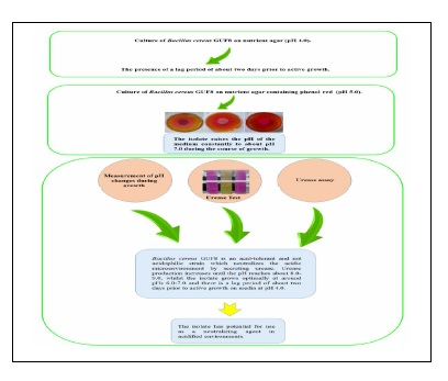 Investigation of Acid-Neutralizing Property of Bacillus cereus GUF8
